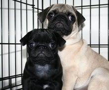 犬ブリーダー 子犬販売 (1ハニーわん)-黒パグ黒ベエ 生後2ヶ月の頃