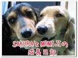 SAKURAとMOMIJIの成長日記