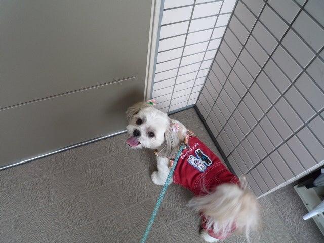 ふうちゃんの毎日 ☆マル&シーズーのMIX犬☆