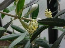 チョコろぼろぐ-2010オリーブの花