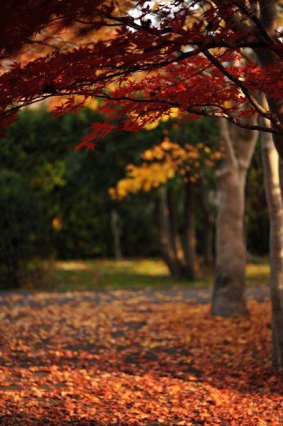 北海道の野生動植物写真-もみじ