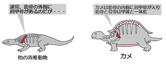 川崎悟司 オフィシャルブログ 古世界の住人 Powered by Ameba-カメだけ肩甲骨は肋骨の中側