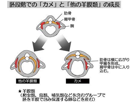 川崎悟司 オフィシャルブログ 古世界の住人 Powered by Ameba-カメの胚の成長