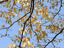酒とホラの日々。-黄色い葉