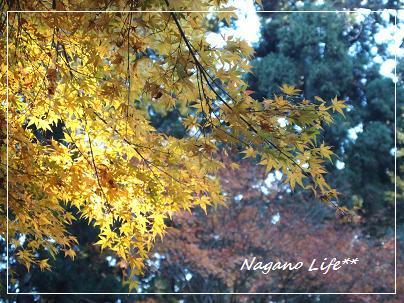 Nagano Life**-黄色紅葉