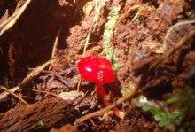 小笠原エコツアー 父島エコツアー         小笠原の旅情報と小笠原の自然を紹介します-赤いキノコ