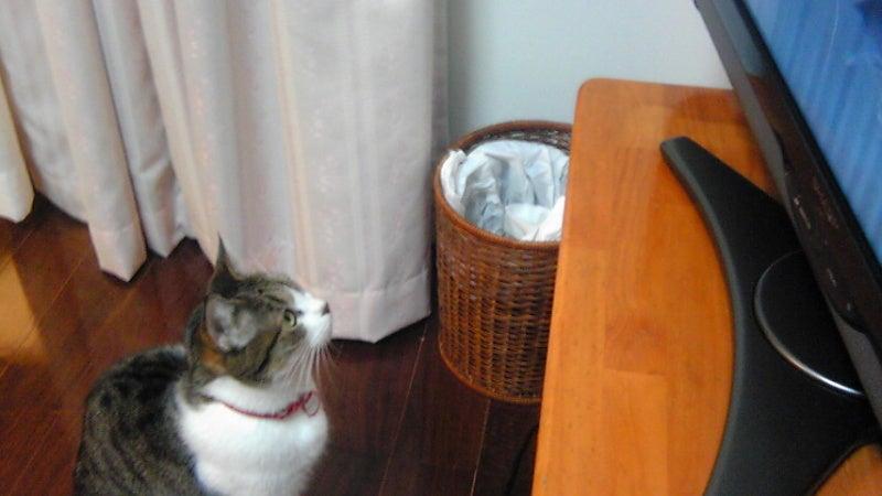 くぅちゃんだって猫である。ニャ(=^・^=) ♪-tori1