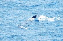 小笠原エコツアー 父島エコツアー         小笠原の旅情報と小笠原の自然を紹介します-クジラ