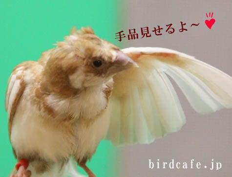 ようこそ!とりみカフェ!!~鳥の写真や鳥カフェでの出来事~-手品十姉妹