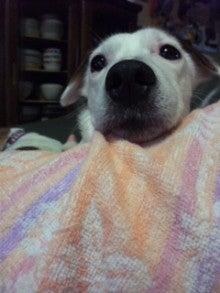 jack russell 4匹多頭飼いのママちゃんことhirokoの気まぐれブログ-101027_144605.jpg