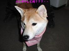 $柴犬 二華(にか)の日々