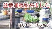 枕崎南楓園のブログ-さつき盆栽通販