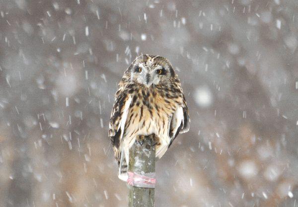 北海道の野生動植物写真-コミミズク