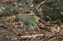 小笠原エコツアー 父島エコツアー         小笠原の旅情報と小笠原の自然を紹介します-イワホウライシダ