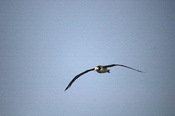 小笠原エコツアー 父島エコツアー         小笠原の旅情報と小笠原の自然を紹介します-アホウドリ