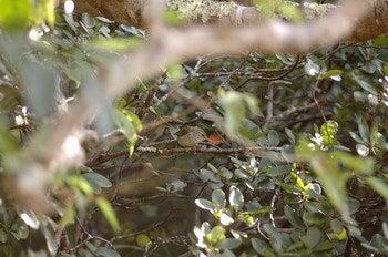 小笠原エコツアー 父島エコツアー         小笠原の旅情報と小笠原の自然を紹介します-ウグイス