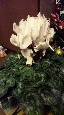 オカメインコのももちゃんと花教室と旅日記-101226_234130.jpg