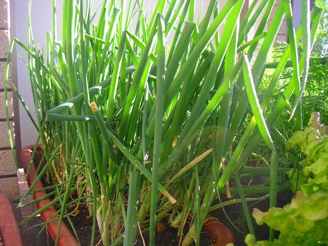 植物を育てることが苦手なママでも大丈夫!知識ゼロから始めるベランダ菜園のススメの画像3