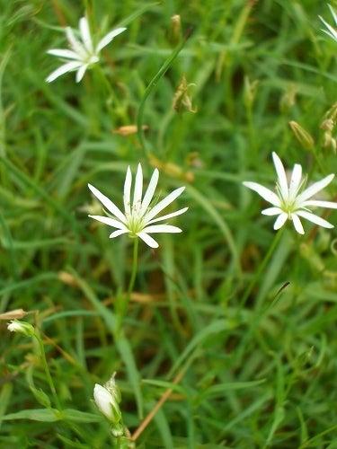 タカネビランジ‐高山植物とそこに生きる生物‐-イワツメクサ