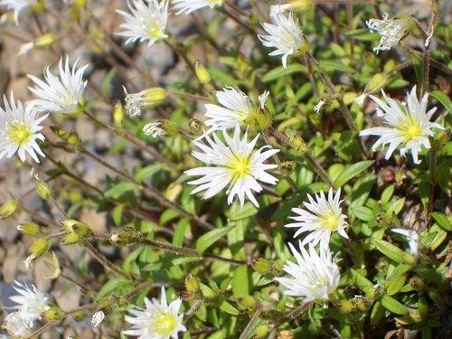 タカネビランジ‐高山植物とそこに生きる生物‐-ミヤマミミナグサ