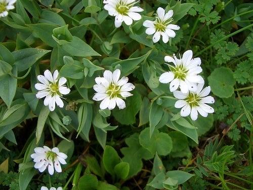 タカネビランジ‐高山植物とそこに生きる生物‐-シコタンハコベ