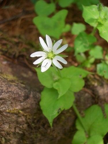 タカネビランジ‐高山植物とそこに生きる生物‐-ミヤマハコベ