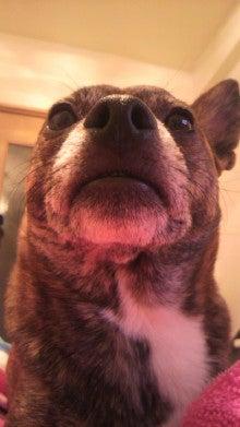 ミックス犬(柴犬×ボストンテリア) ミルモの日記-2011010401350003.jpg