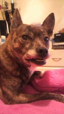 ミックス犬(柴犬×ボストンテリア) ミルモの日記-2011010401350000.jpg