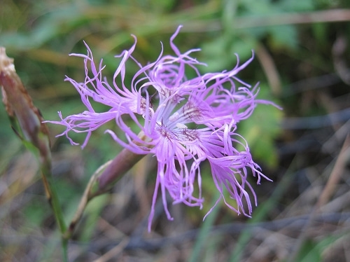 タカネビランジ‐高山植物とそこに生きる生物‐-タカネナデシコ