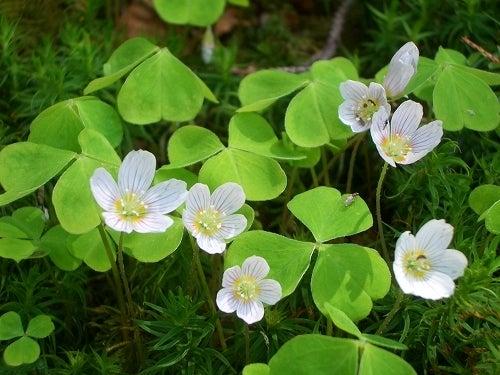 タカネビランジ‐高山植物とそこに生きる生物‐-コミヤマカタバミ