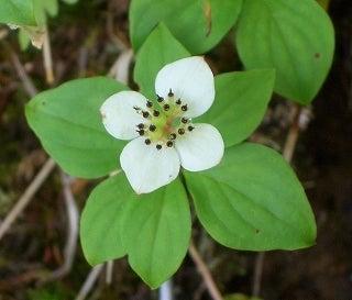 タカネビランジ‐高山植物とそこに生きる生物‐-ゴゼンタチバナ