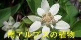 タカネビランジ‐高山植物とそこに生きる生物‐-バナー南アルプスの植物