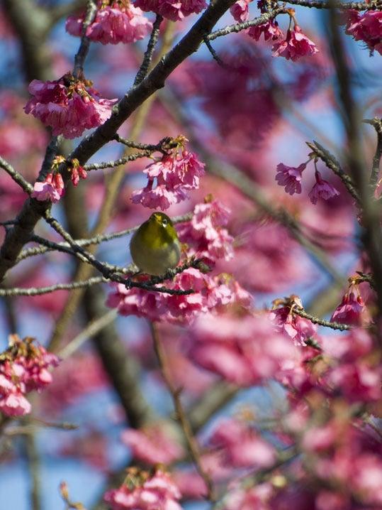 ケロケロの散歩道-桜とメジロ