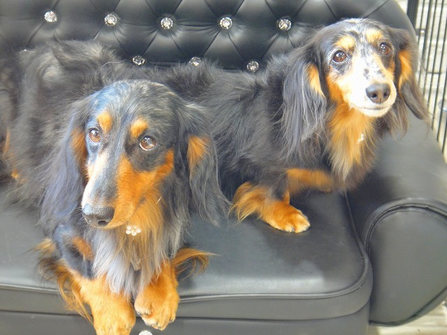 旅犬Lani&Leaのほほん風船記-自由が丘トリミングデート