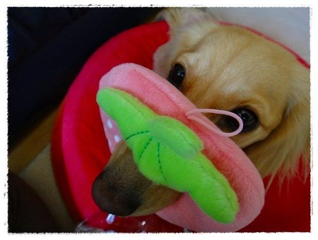 旅犬Lani&Leaのほほん風船記-ゆうりっちーさん❤ありがとう
