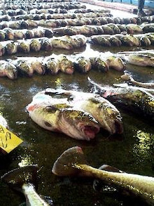 気仙沼の魚情報
