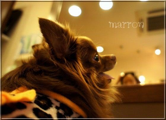 まろまろマロンの楽しい犬生♪