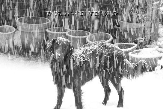 KAI-TAI-TETO-GOO∴∵RETRIEVER カイタイテトグゥ【故に何故ならば】レトリーバー-雪の日
