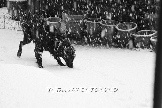 KAI-TAI-TETO-GOO∴∵RETRIEVER カイタイテトグゥ【故に何故ならば】レトリーバー-雪