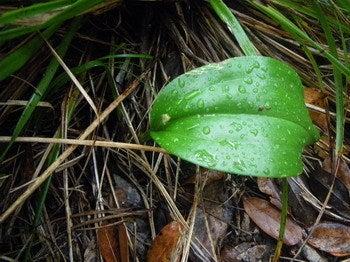 小笠原エコツアー 父島エコツアー         小笠原の旅情報と小笠原の自然を紹介します-ツレサギソウ