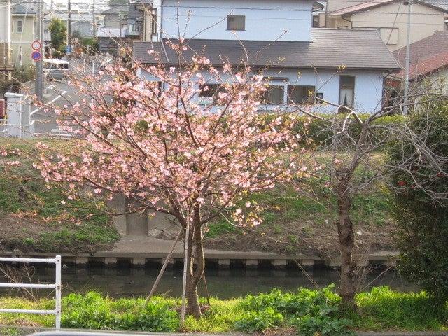 国道1号沼津バイパス沿いの河津桜の開花状況情報が満開