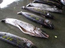 気仙沼の魚情報-メカジキアップ