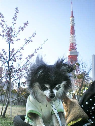 漫画家の犬たち-桜と東京タワー