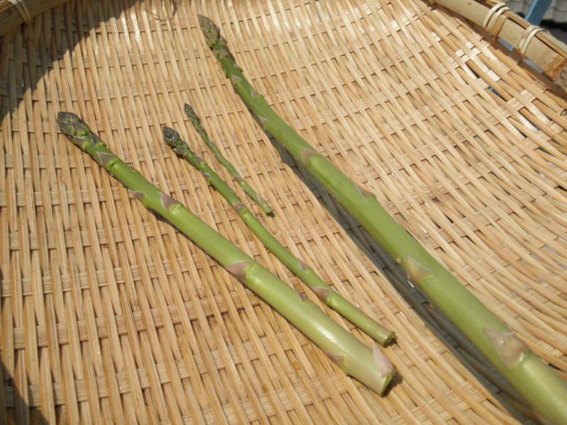 大好き☆ベランダ菜園-収穫したアスパラガス