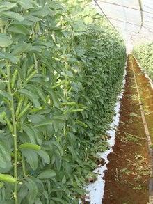 アルベンス BLOG-そら豆圃場
