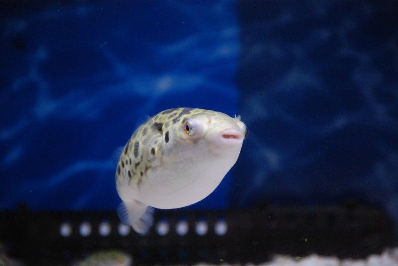 くまおと熱帯魚(ミドリフグ&怪魚)