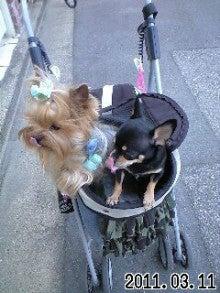 ★ろくたんブログ★ ヨーキーとチワワとチョイ自転車-110311_1455~0002.jpg