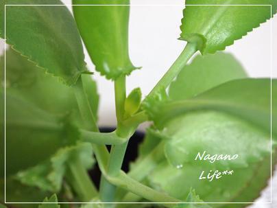 Nagano Life**-子宝草