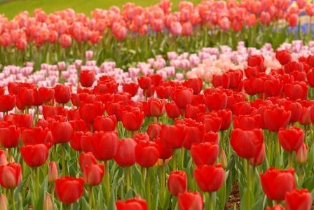 幸せな就職・『生きる』を楽しもう~白血病克服のキャリアコンサルタント木村典子-赤チューリップ