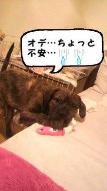 ミックス犬(柴犬×ボストンテリア) ミルモの日記-image0007.jpg